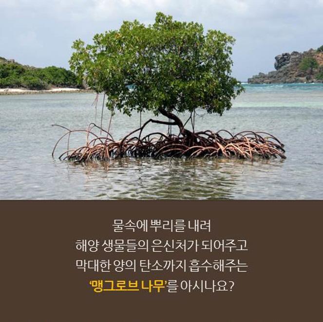 물속에 뿌리를 내려 해양 생물들의 은신처가 되어주고 막대한 양의 탄소까지 흡수해주는 '맹그로브 나무'를 아시나요?